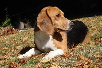 Beagle deitado nas folhas