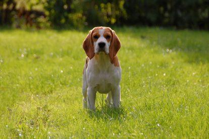 Beagle na grama
