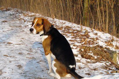 Beagle grande