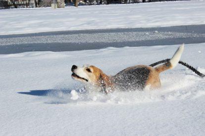 Beagle na neve