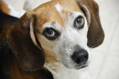 Beagle olhar