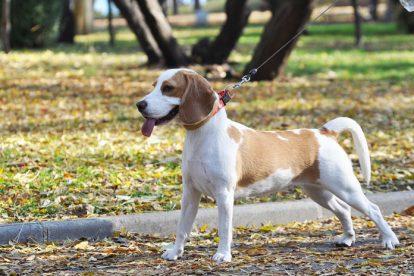 Beagle no parque