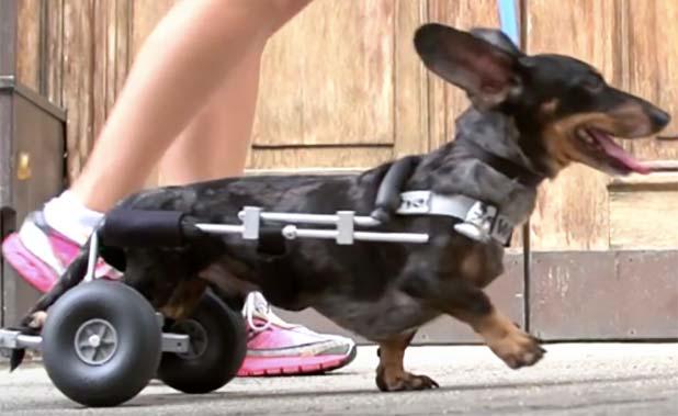 cachorro-abandonado-com-paralisia-adotado