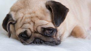 Beautiful Pug