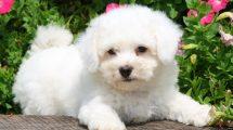 cachorros-de-pequeno-porte-4