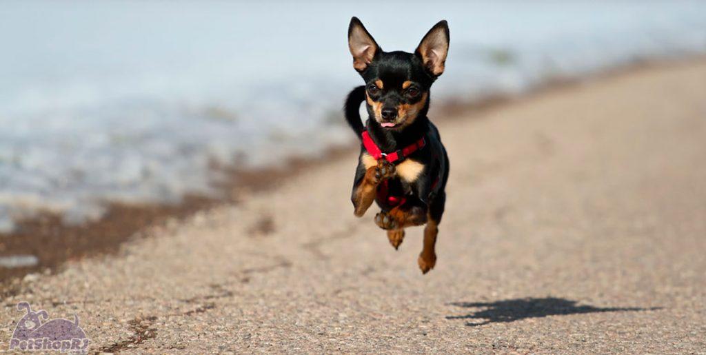 cachorros-muito-pequenos