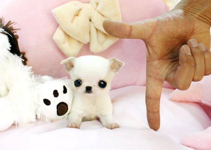 cachorros-muito-pequenos-21