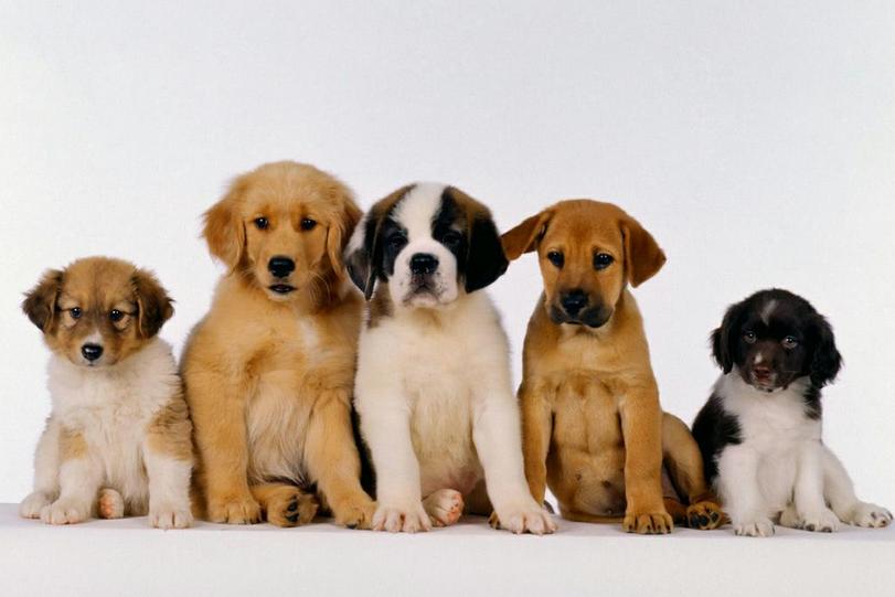 como-calcular-a-idade-dos-cachorros