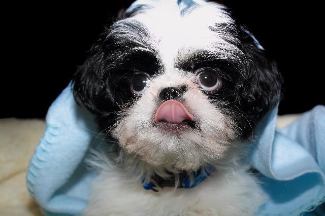 coprofagia-cachorro-come-coco