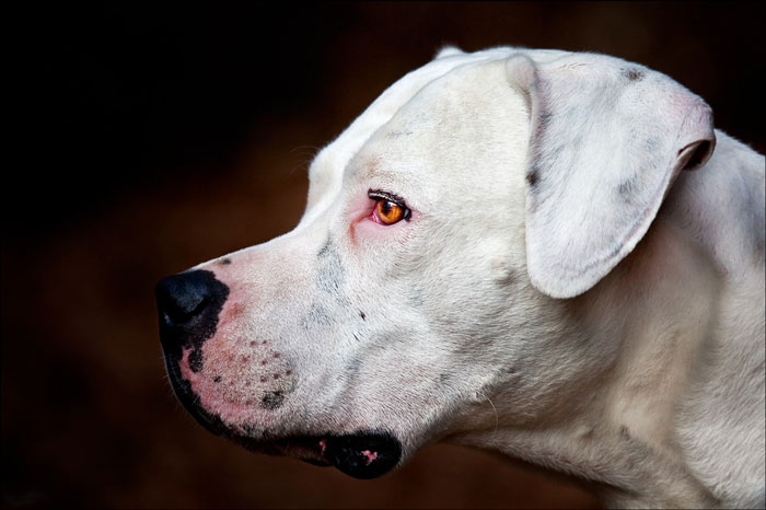 Dogo Argentino fotografia