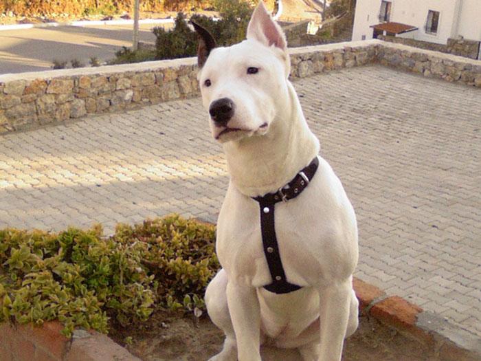 Dogo Argentino peitoral