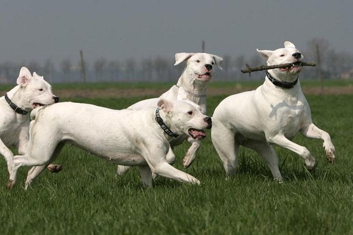 Dogos Argentinos correndo