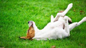 Como ensinar seu cachorro a rolar