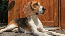 Fotos de cachorros Beagle. Acesse e veja mais!