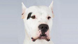 Fotos de cachorros da raça Dogo Argentino. Acesse e veja mais!