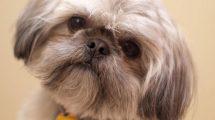 Lindas fotos de cachorros da raça Shih Tzu. Acesse e veja mais!
