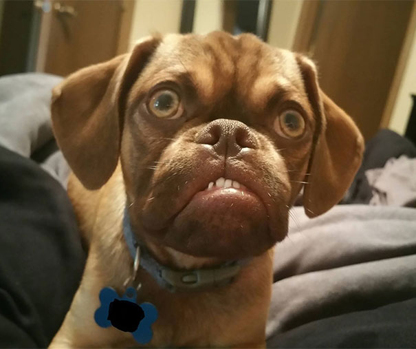 Grumpy Dog Earl Puggle