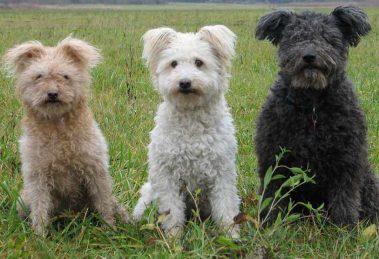 Pumi: Conheça a raça de cachorro