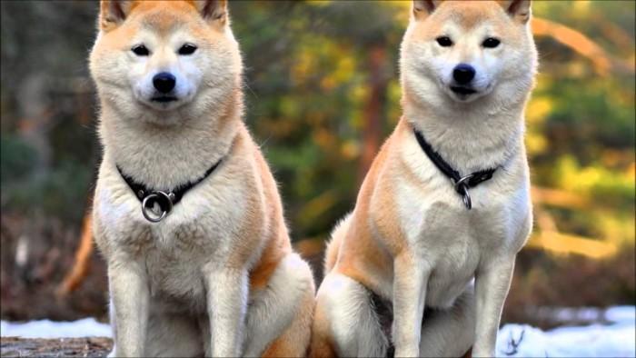 Irmãos Akita Inu