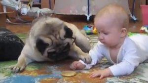 pugs-e-bebês