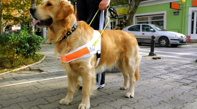 quais-as-raças-podem-ser-cães-guia