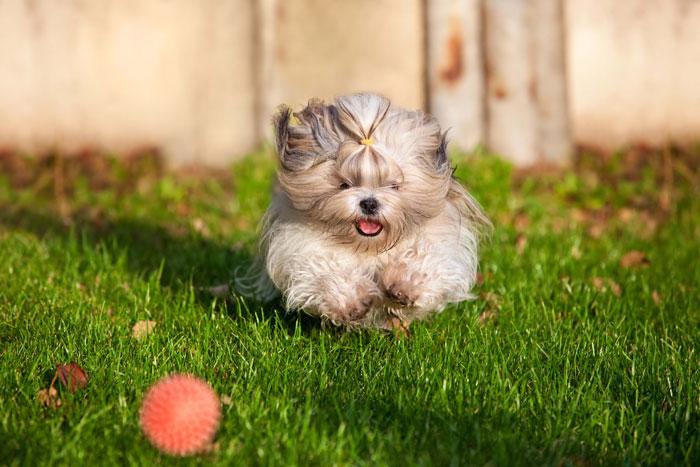 Shih Tzu brincando com bola
