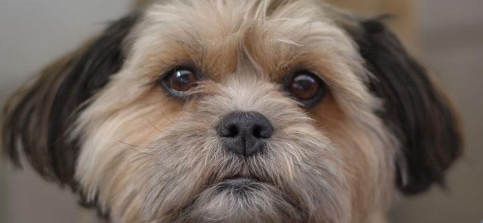 Shih Tzu cachorro