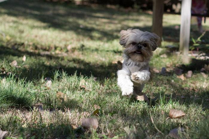 Shih Tzu correndo