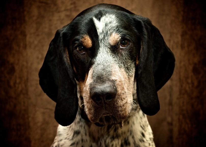 Coonhound-4