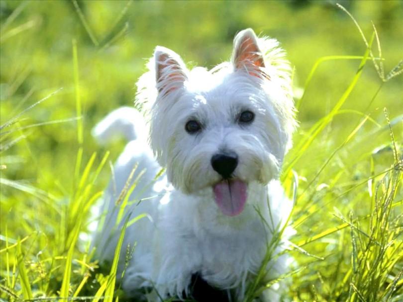 Dandie-Dinmont-Terrier-1