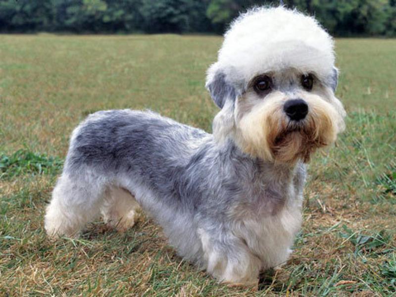 Dandie-Dinmont-Terrier-3