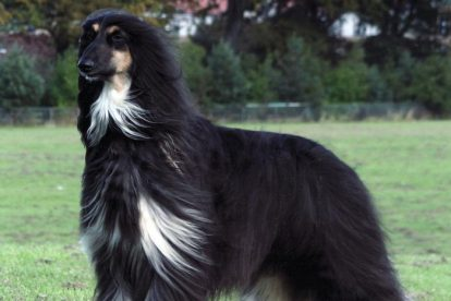 Afghan Hound preto