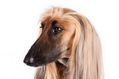 Afghan Hound penteado