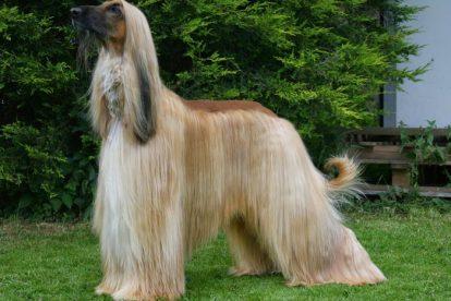 Afghan Hound adulto