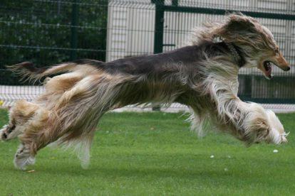 Afghan Hound correndo