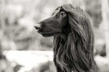 Afghan Hound pelo preto