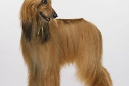 Afghan Hound pelo
