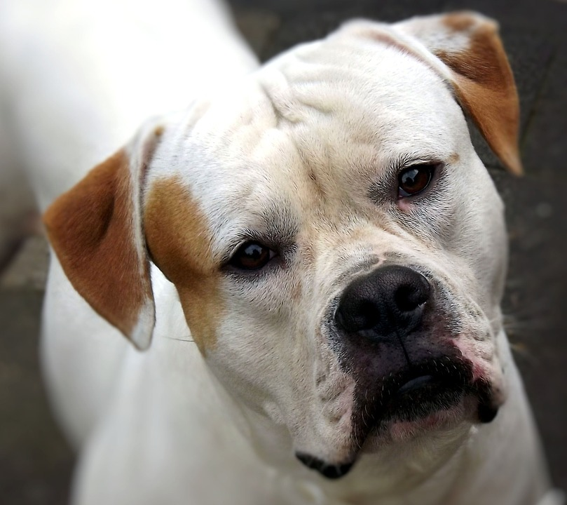 american-bulldog