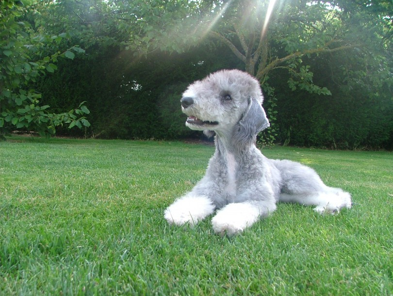 bedlington-terrier-08