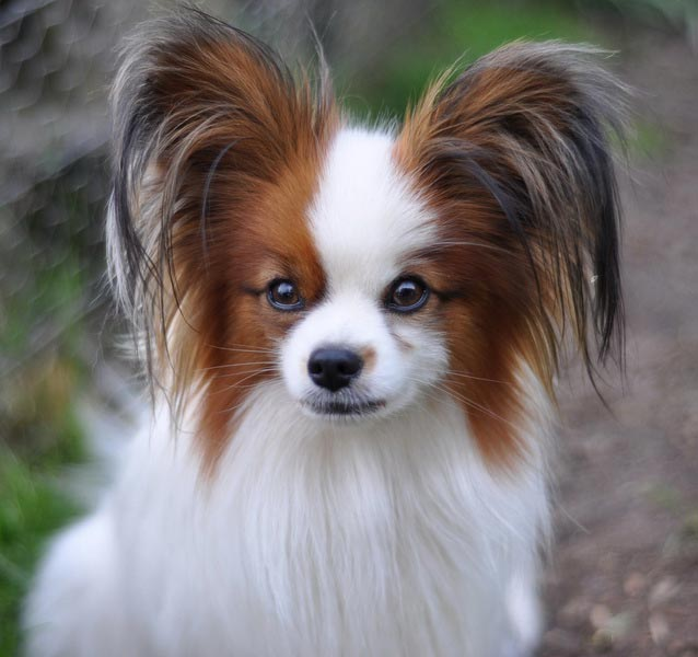 Small Dogs With Long Floppy Ears