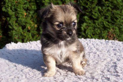Cachorro pequeno