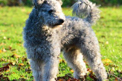 Cachorro Pumi