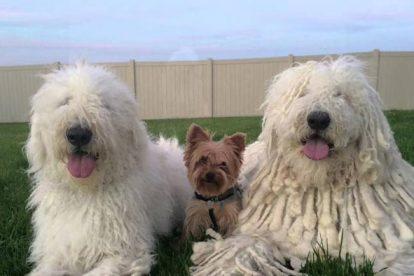Cachorros Komondor