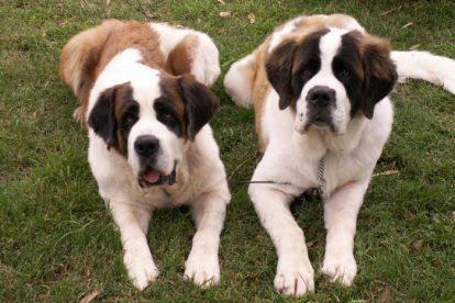 Cachorros São Bernardo