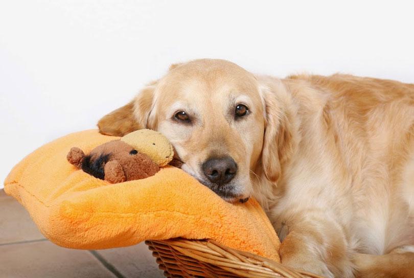 http://www.melhoramigo.dog/wp-content/uploads/2016/03/cadela-prenha.jpg