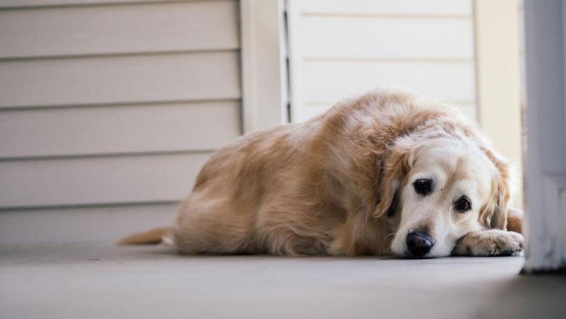 Câncer em cães