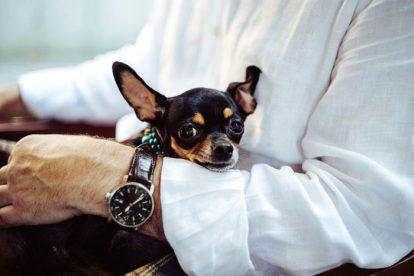 Chihuahua no colo