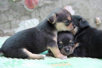 Chihuahua ninhada
