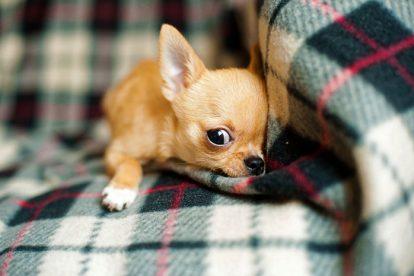 Chihuahua se escondendo