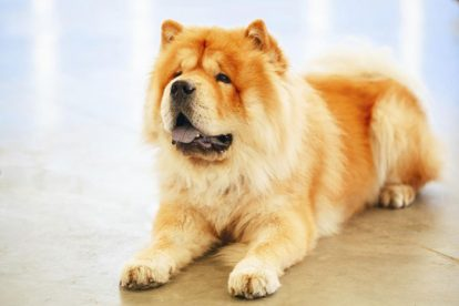 Chow Chow amarelo